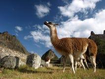 Lama del Perù fotografia stock libera da diritti