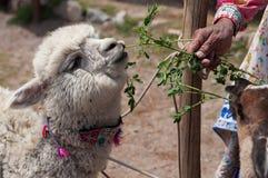 Lama dell'alimentazione della donna ed alpaga in montagne delle Ande, Perù, Sudamerica Fotografia Stock Libera da Diritti
