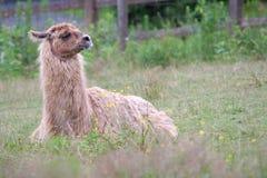 Lama dell'alpaga che riposa nel campo di erba che si riposa il mammifero del prato che coltiva lana Fotografie Stock