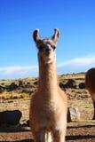 Lama della lama in Puno, Perù Fotografia Stock
