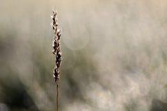 Lama della luce dell'erba di mattina Fotografia Stock
