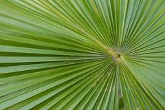Lama della palma Immagini Stock