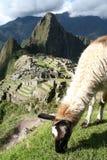 Lama, der über Machu Picchu weiden lässt stockfotos