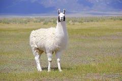 Lama in der Gebirgsumwelt stockbilder