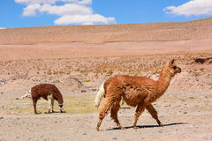 Lama in the desert of Jujuy province. Argentina Stock Images