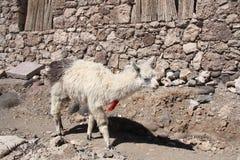 Lama in a desert, Salar de Uyuni, Bolivia Stock Images