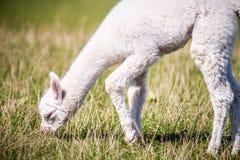 Lama di bianco dell'alpaga Fotografie Stock Libere da Diritti