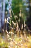 Lama di erba asciutta nella foresta di autunno Immagini Stock