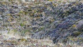Lama di erba che ondeggia nel vento nel tramonto Spighette contro il sole nel campo, paesaggio rurale ondeggiamento Fotografia Stock Libera da Diritti