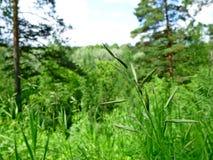 Lama di erba su un fondo vago Estate Forest Landscape Posto per il vostro testo Fotografie Stock