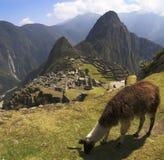 Lama di Machu Picchu Fotografia Stock Libera da Diritti