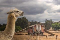 Lama die geweid gevogelte op het landbouwbedrijf van het kippenei bewaken royalty-vrije stock foto's