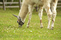 Lama die gras eet Royalty-vrije Stock Foto's
