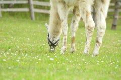 Lama die gras eet Stock Foto's