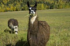 Lama die gras eet Stock Afbeelding