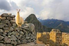 Lama die zich bij de citadel van Machu Picchu in Peru bevinden Stock Afbeeldingen