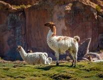 Lama diritto d'imposizione su un campo - Bolivia Fotografie Stock