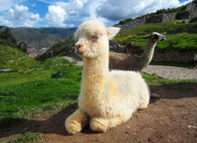 Lama do bebê no Peru fotos de stock royalty free
