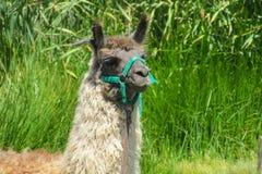 Lama domestica su erba verde Fotografia Stock