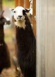 Lama domestico che esamina l'alpaga degli animali del bestiame dell'azienda agricola della macchina fotografica Immagini Stock