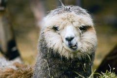 Lama domestico che mangia Hay Farm Livestock Animals Fotografie Stock