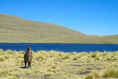 Lama domestique près de lac d'altiplano Photos stock