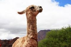 Lama drôle Images libres de droits