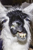 Lama drôle Photos stock