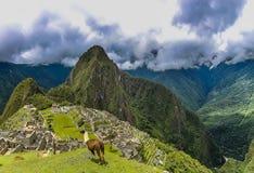 Lama due su un'area del plateau in Machu Picchu fotografia stock libera da diritti