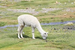 Lama e alpaca, Peru Imagem de Stock Royalty Free
