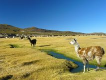 Lama e alpacas Fotografia Stock