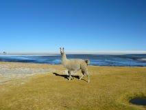Lama e alpacas Fotografie Stock