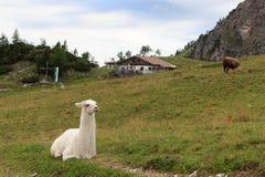 Lama e cabana alpina imagens de stock