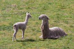 Lama e cucciolo in Cusco Perù Fotografie Stock