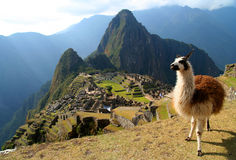 Lama e Machu Picchu Fotografia Stock