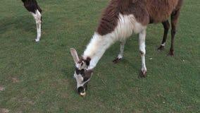 Lama eat apple on the grass stock video footage