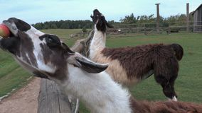 Lama eat apple out of hand stock video
