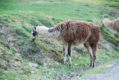 Lama. A lama is eating the grass Royalty Free Stock Photo