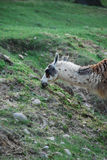 Lama. A lama is eating the grass Stock Photo