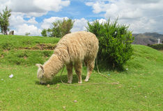 Lama eating grass. Domestic lama in the Andes near Cuzco eats grass Stock Photography