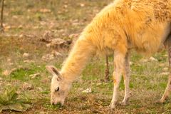 Lama eating grass out in the nature Stock Photo