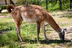 Lama eating grass on a sunny day Royalty Free Stock Images