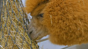 Lama eating hay in zoo. Near white wooden fence stock video