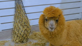 Lama eating hay in zoo. Near white wooden fence stock video footage