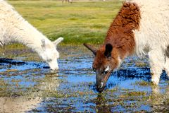 Lama eating in the marsh land of Bolivia. Lama in the Marsh land in the Salar de Uyuni desert, Bolivia Royalty Free Stock Photography