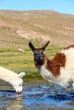 Lama eating in the marsh land of Bolivia. Lama in the Marsh land in the Salar de Uyuni desert, Bolivia Royalty Free Stock Images