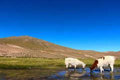 Lama eating in the marsh land of Bolivia. Lama in the Marsh land in the Salar de Uyuni desert, Bolivia Stock Photos