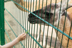 Lama eating out of the hand of a boy. Stock Photography