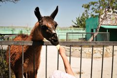 Lama eats food from the hands of a girl at the zoo. Animal farm. Child feeds lama at pet zoo. royalty free stock photos