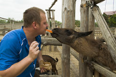 Lama eats from the mouth. Lama eats a person and she really likes Royalty Free Stock Photography